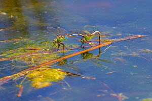 Common green darner dragonfly (Anax junius) pair egg laying on the Madison River, Bozeman, Montana, USA, June.  -  Phil Savoie