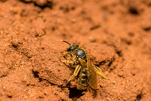 Green furrow bee (Lasioglossum morio) female sunbathing outside nest burrow, Monmouthshire, Wales, UK, August. - Phil Savoie