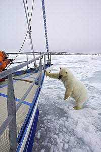 Polar bear (Ursus maritimus) approaching boat with curiosity, with photographer taking picture,  Spitsbergen, Svalbard, Norway, Arctic Ocean.  -  Franco  Banfi