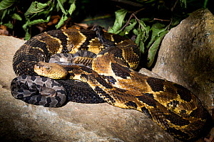 Timber rattlesnake (Crotalus horridus) with babies aged two days, part of a captive breeding and release programme, Roger Williams Park Zoo. - Paul Williams