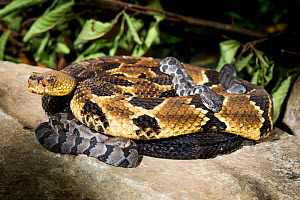 Timber rattlesnake  (Crotalus horridus) with babies aged  two days.  Rhode Island, USA. Photographed as part of a captive breeding and release programme, Roger Williams Park Zoo. - Paul Williams