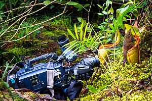 Filming a Mountain tree shrew (Tupaia montana) feeding on nectar secreted by the endemic Pitcher Plant (Nepenthes kinabaluensis) Montane forests (at 2200m-3000m), slopes of Mt Kinabalu. Kinabalu Park,...  -  Paul Williams