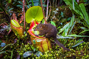 Mountain tree shrew (Tupaia montana) feeding on nectar secreted by the endemic Pitcher Plant (Nepenthes kinabaluensis) Montane forests (at 2200m-3000m), slopes of Mt Kinabalu. Kinabalu Park, Sabah, Bo...  -  Paul Williams