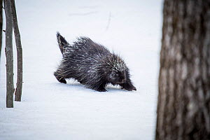 North American porcupine (Erethizon dorsatum) in snow, Vermont, USA. (Habituated rescued individual returned to the wild)  -  Paul Williams