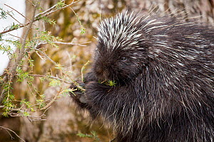 North American porcupine (Erethizon dorsatum), feeding on a young spruce tree. Vermont, USA. (Habituated rescued individual returned to the wild)  -  Paul Williams