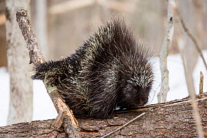 North American porcupine (Erethizon dorsatum), in defensive posture with erect quills. Vermont, USA. (Habituated rescued individual returned to the wild)  -  Paul Williams
