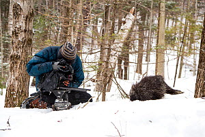 Cameraman filming a North American porcupine (Erethizon dorsatum), Vermont, USA. (Habituated rescued individual returned to the wild)  -  Paul Williams
