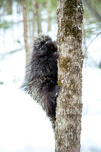North American porcupine (Erethizon dorsatum),  climbing a tree in snow. Vermont, USA. (Habituated rescued individual returned to the wild)  -  Paul Williams