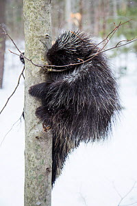 North American porcupine (Erethizon dorsatum),  climbing a tree in snow, Vermont, USA. (Habituated rescued individual returned to the wild)  -  Paul Williams