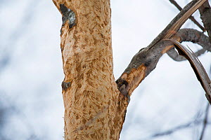 Bite marks on a tree caused by a North American porcupine (Erethizon dorsatum), Vermont, USA. (Habituated rescued individual returned to the wild)  -  Paul Williams