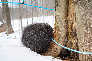 North American porcupine (Erethizon dorsatum) with a maple syrup tapping tube. These tubes are used to carry sap to large tanks. Porcupines have learned to bite the tubes so that they can drink the li...  -  Paul Williams