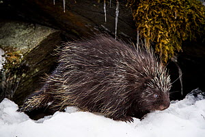 North American porcupine (Erethizon dorsatum), leaving its rocky den, Vermont, USA. (Habituated rescued individual returned to the wild)  -  Paul Williams