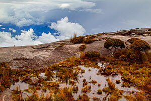 Sub-alpine vegetation on the granite rock close to the summit of Mount Kinabalu, Borneo. - Paul Williams