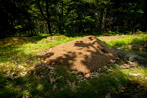Nest mound of  the Allegheny mound ant (Formica exsectoides) Massachusetts, USA.  -  Paul Williams