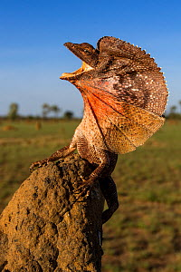 Frill-neck Lizard (Chlamydosaurus kingii), displaying on a termite mound. Northern Territory, Australia - Paul Williams