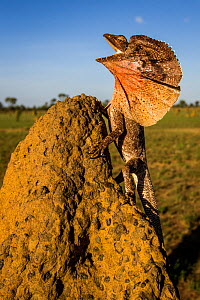Frill-neck Lizard (Chlamydosaurus kingii), displays on a termite mound. Northern Territory, Australia - Paul Williams