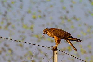 Brown falcon (Falco berigora) feeding  on a Budgerigar (Melopsittacus undulatus)  with birds behind flocking to find water, Northern Territory, Australia - Paul Williams