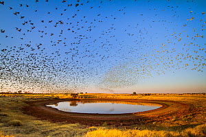 Budgerigars (Melopsittacus undulatus) flocking to find water, Northern Territory, Australia - Paul Williams