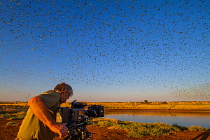 Cameraman Lyndsey Cupper filming for the BBC series Wonders of the Monsoon with flock of Budgerigars (Melopsittacus undulatus) flocking to find water, Northern Territory, Australia. - Paul Williams