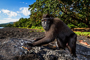 Celebes crested macaque / black macaque (Macaca nigra) feeding on charcoal in a firepit, possibly for self medication.Tangkoko, Sulawesi, Indonesia. - Paul Williams