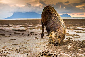 Bearded Pig (Sus barbatus) digging for crabs. Borneo  -  Paul Williams