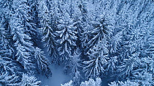 Aerial shot of a coniferous forest covered in snow, Akershus, Norway, January 2018.  -  Pal Hermansen