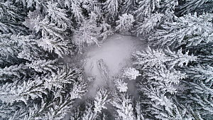 Aerial shot of a coniferous forest after heavy snowfall, camera ascends into fog, Akershus, Norway, January 2018.  -  Pal Hermansen
