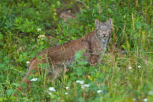 Canada Lynx (Lynx canadensis) walking through a mountain meadow in the evening. Manning Provincial Park, British Columbia, Canada.  July .  -  Connor Stefanison
