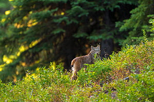 Canada lynx (Lynx canadensis) walking through a mountain meadow, Manning Provincial Park, British Columbia, Canada.  July. - Connor Stefanison