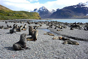 Antarctic fur seal (Arctocephalus gazella) colony on the beach.  Fortuna Bay, South Georgia. January.  -  Mike Potts
