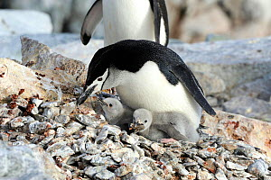 Chinstrap Penguins  (Pygoscelis antarcticus) adults with large fluffy chicks. one picking up stones. Hydrurga Rocks. Near Cuverville Island.  Antarctic Peninsula. January.  -  Mike Potts