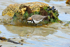 Banded plover (Charadrius falklandicus) two feeding on a mudflat. Port Stanley, Falkland Islands. January.  -  Mike Potts