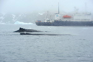 Humpback whales (Megaptera novaeangliae) with ship Polar Pioneer in the background.  Cierva Cove.  Lemaire Channel.  Antarctic Peninsula. January 2017.  -  Mike Potts