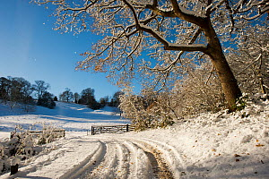 Snow scene from Lower Brockhampton, with Sessile Oak (Quercus petrea)  track and farm gate, Herefordshire, England, UK, December.  -  Will Watson