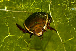 Head on view of Diving beetle (Cybister lateralimarginalis) resting among Bladderwort (Utricularia sp.) captive conditons, Belgium. - Will Watson