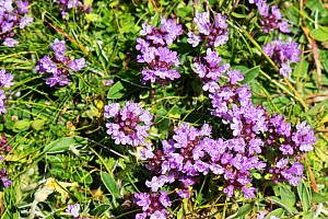 Large Thyme (Thymus pulegioides), north Herefordshire Hills, England, UK, June.  -  Will Watson