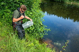 Environment Agency Fisheries Officer releasing Minnow traps from an irrigation pool, during national programme to eradicate Topmouth Gudgeon, Herefordshire, England, UK, July 2017. - Will Watson