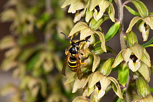 Tree wasp (Dolichovespula sylvestris) male pollinating Broad-leaved Helleborine, Herefordshire, England.  -  Will Watson