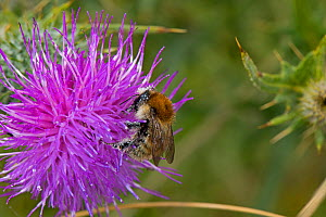 Brown Banded Carder Bee (Bombus humilis) on Spear Thistle (Cirsium vulgare), Worcestershire, England, UK, July. - Will Watson