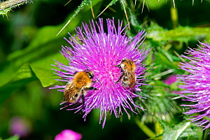 Common Carder Bees (Bombus pascuorum) on Spear Thistle (Cirsium vulgare), Herefordshire Plateau, England, UK, July. - Will Watson