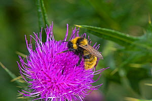 Male Field Cuckoo Bumblebee (Bombus campestris) on Spear Thistle (Cirsium vulgare), Herefordshire Plateau, England, UK, August. - Will Watson