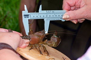 Scientist measuring a crayfish head and thorax of a non-native Signal Crayfish (Pacifastacus leniusculus), River Lugg SSSI, north Herefordshire, England, UK, August. - Will Watson