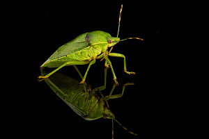 Studio portrait of a Green stink bug (Acrosternum hilare)  pests of nut and fruit trees, cotton, soybean and other crops. Mexican free-tailed bats feed on a few species of stink bugs.Texas, USA, June.  -  Karine Aigner