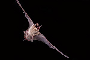 Mexican Free-Tailed Bat (Tadarida brasiliensis) in flight on black background in field studio, Texas, USA, July. - Karine Aigner
