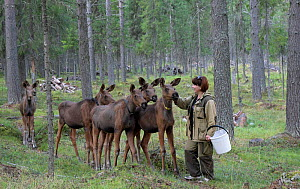 Woman petting Moose (Alces alces) on farm, Pechora-Ilichsky Nature Reserve, Virgin Forests of Komi UNESCO World Heritage Site, Russia's Ural Mountains. August 2016. - Igor  Shpilenok