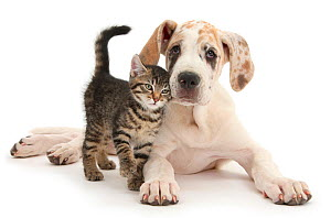 Tabby kitten, Fosset, age 10 weeks, with Great dane pup, Tia, 14 weeks. NOT AVAILABLE FOR BOOK USE  -  Mark Taylor