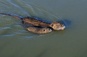 Coypu / Nutria (Myocastor coypus) swimming with young, Camargue, France. February. Introduced species. - Jouan Rius