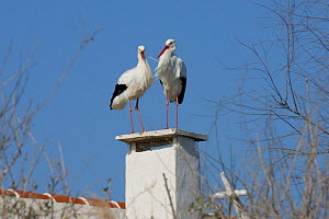 White stork (Ciconia ciconia) pair nesting on chimney, Camargue, France, February.  -  Jouan Rius