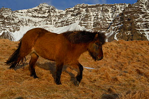 Icelandic horse walking on dry grass, , southern Iceland, February 2015 - Jouan Rius