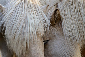 Close up of two Icelandic horses head to head, southern Iceland, February 2015 - Jouan Rius